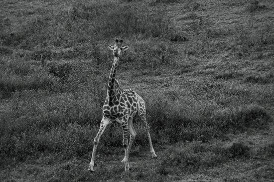 Kenton-on-Sea, Republika Południowej Afryki: A playful giraffe