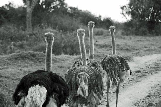 Kenton-on-Sea, Republika Południowej Afryki: These ostriches did not have the sense to move off the path