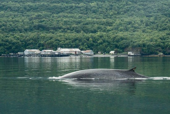 Kodiak National Wildlife Refuge, Аляска: Fin Whale with the Cannery in the background