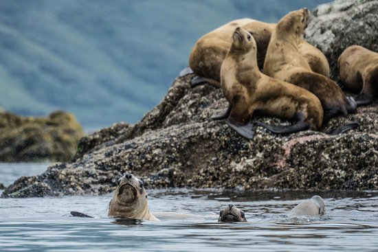 Kodiak National Wildlife Refuge, Аляска: Se lions whilst we were kayaking