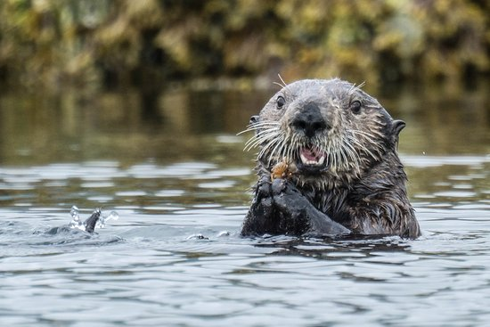 Kodiak National Wildlife Refuge, Аляска: Sea otter hunting and eating by our kayak