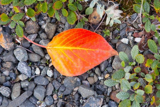 Kachemak Bay State Park: A leaf on the trail.