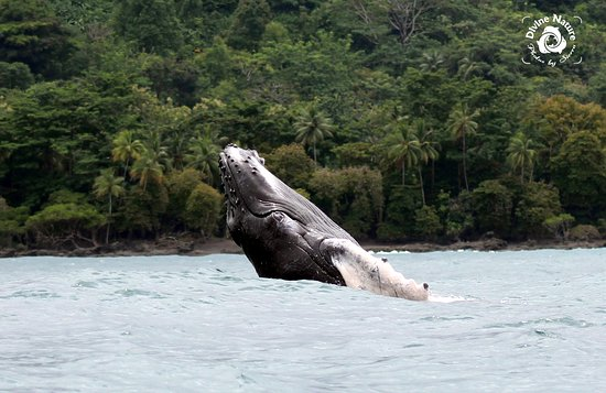 Drake Bay, Costa Rica: A Baby Humpback Whale enjoys our beautiful coast