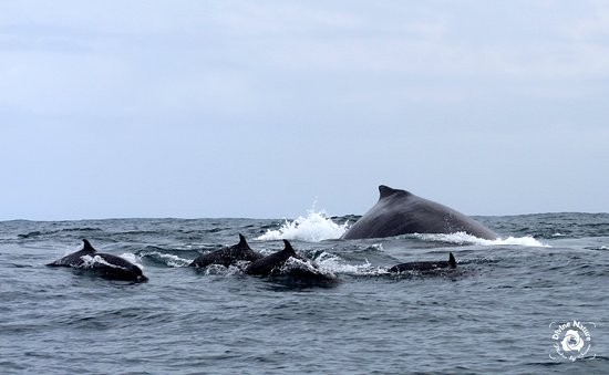 Drake Bay, Costa Rica: The dolphins love to play with the whales!