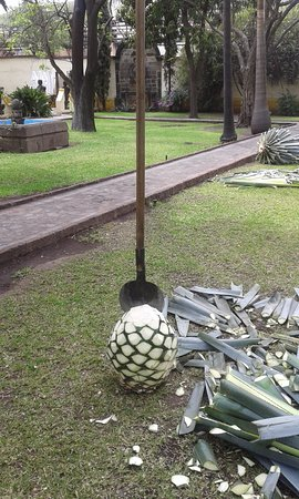 Casa Sauza: La piña de agave ya limpia de hojas