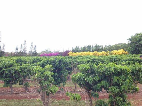 Kalaheo, Hawaï : piante di caffè