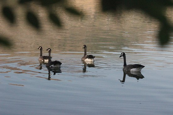 Vernon, Canada: Canada Geese on Swan Lake seen from our campsite