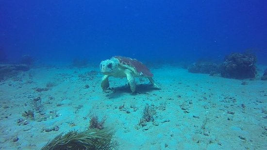 Boynton Beach, Φλόριντα: Curious Sea Turtle, 50 feet deep on sandy bottom.