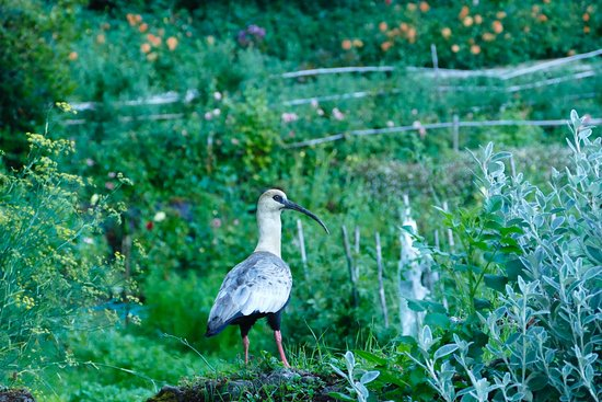 Hotel Antumalal: Ibis in the Garden