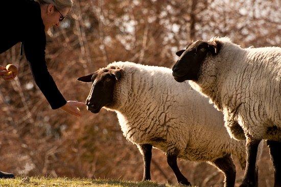 Whakaipo Lodge: Meet our sheep and feed them their favourite:apples!