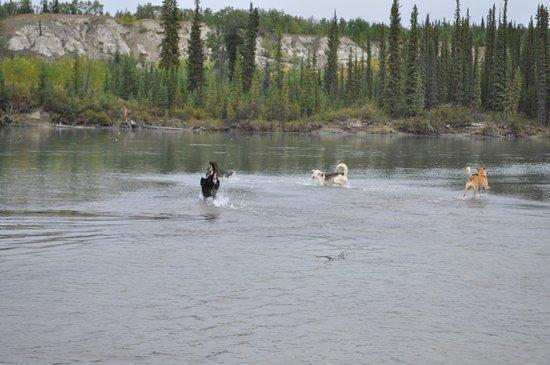 Muktuk Adventures : Happy Dogs at Takhini River