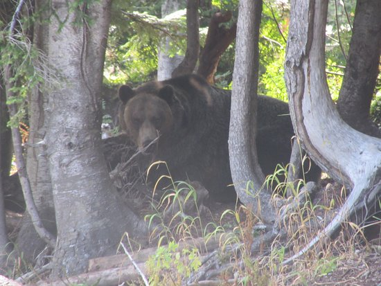 North Vancouver, Kanada: Grinder the grizzly