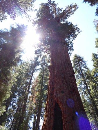 ทรีริเวอร์ส, แคลิฟอร์เนีย: Stunning trees