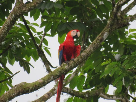 Drake Bay Backpackers : Scarlet macaw, taken from the hostel