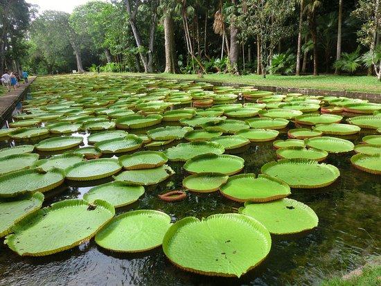 Easy Dive Mauritius: Seerosen am großen botanischen Garten