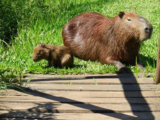 Ibera Wetlands, Argentina: Un Carpincho bebé con su madre, se los cruza por todos lados...