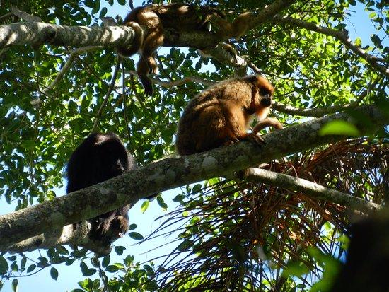 Ibera Wetlands, Argentina: Avistaje de manada de monos Carayá...