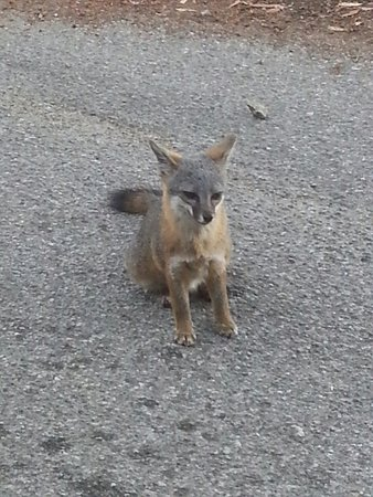 Trans-Catalina Trail: Grey Fox
