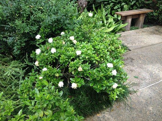Matthaei Botanical Gardens: Gardenias
