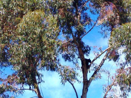 Stanford, Sudáfrica: Leopard in tree