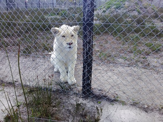 Stanford, Zuid-Afrika: White lion