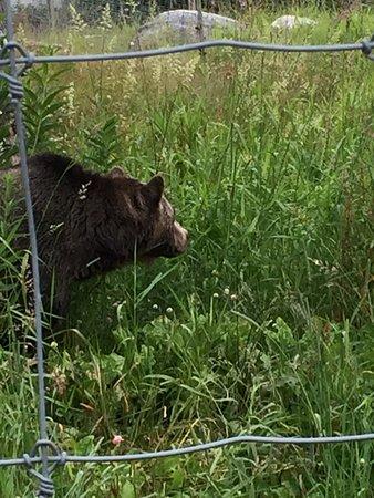 Nord-Vancouver, Canada: Urso em Grouse Mountain (preso)