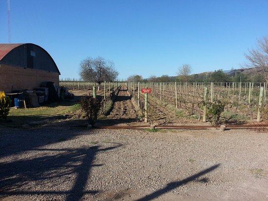 Posada Cavieres Wine Farm: Viñedos