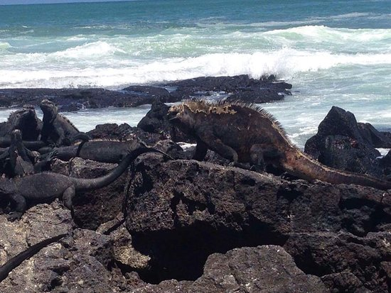 Puerto Villamil, Ecuador: La iguana más grande