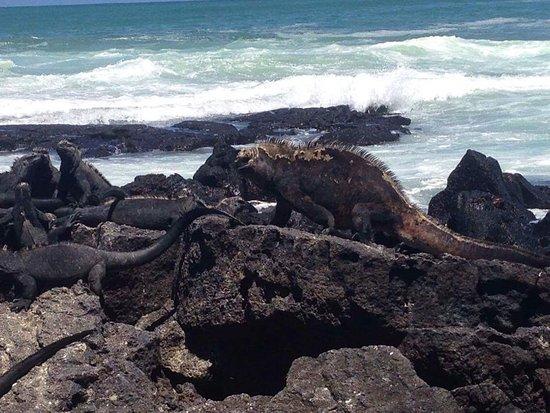 Puerto Villamil, الإكوادور: La iguana más grande