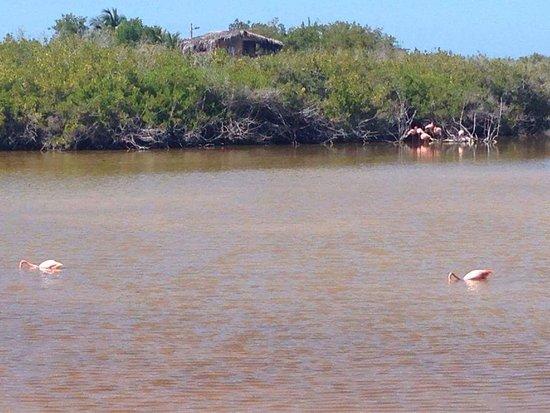 Puerto Villamil, Ecuador: Flamingos nadando
