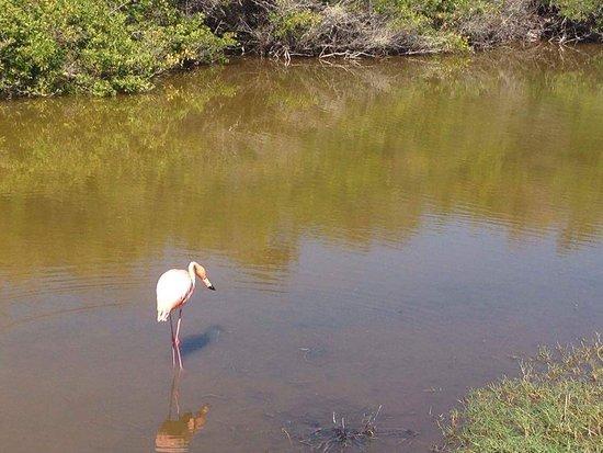 Puerto Villamil, Ecuador: Flamingo