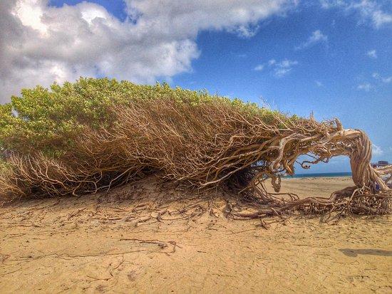 Jericoacoara, CE: Árvore da preguiça