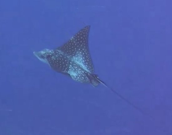 Glovers Reef Atoll, Belize: Spotted Eagle Ray