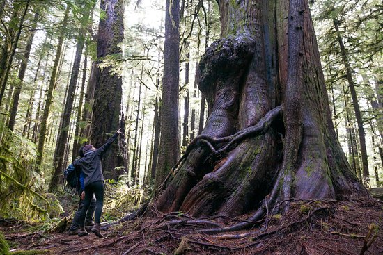 The incredible Avatar Grove near Port Renfrew