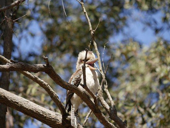 Coochiemudlo Island, Australien: Kookaburra