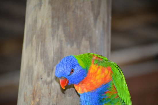 Diwan, Australia: One of the Resident Parrots