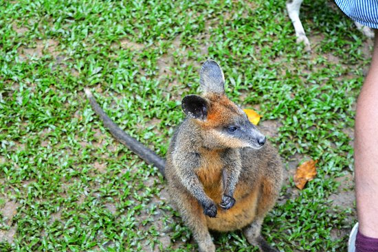 Lync-Haven Rainforest Retreat, Cabins, Camping & Wildlife Experience: Wallaby