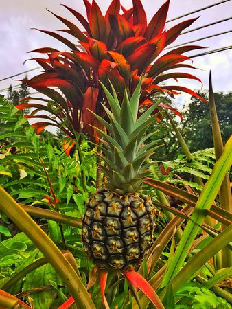Paia, Hawái: Pineapple