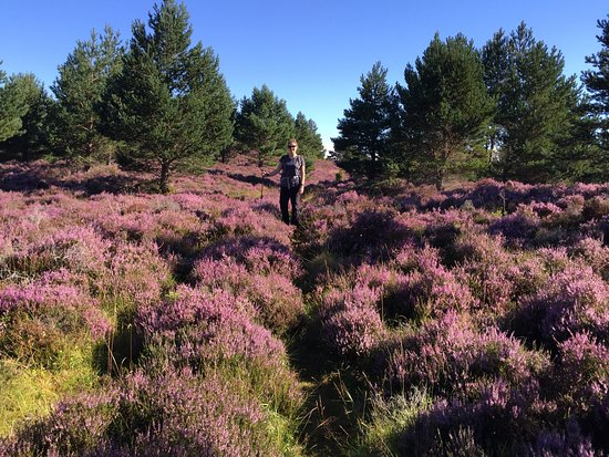 Boat of Garten, UK: Thick fields of heather