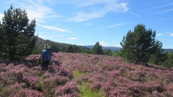 Boat of Garten, UK: Hill walking through fields of heather in bloom.