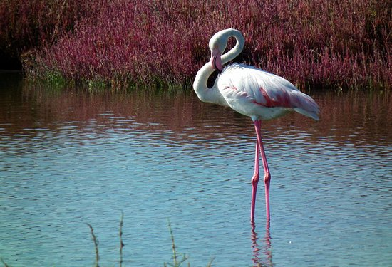 Arborea, Italië: Fenicottero rosa