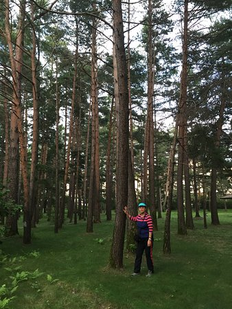 Antu County, China: pine trees in the park