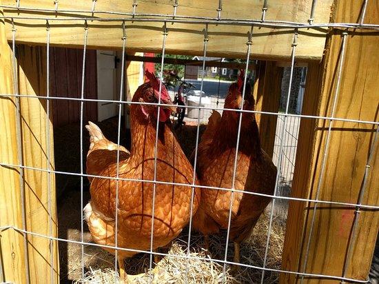 Chickens Picture Of Pemi Cabins Lincoln Tripadvisor
