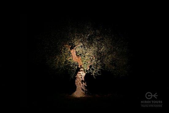 Eumelia Organic Agrotourism Farm & Guesthouse: In der Nacht sehen die angestrahlten Olivenbäume aus wie Skulpturen
