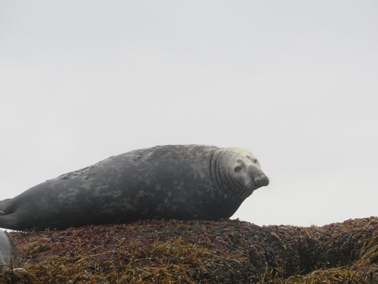 Gjesvaer, Noruega: Adult Common Seal