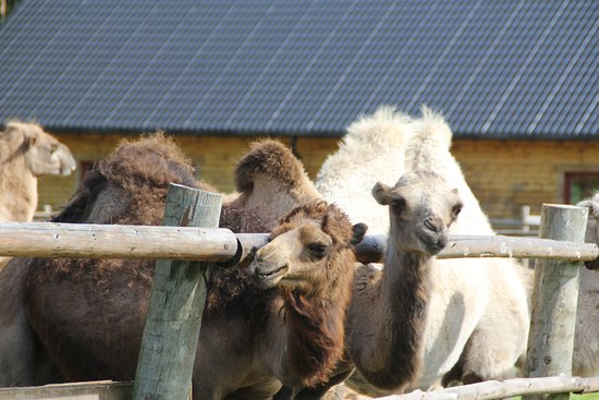 Cesis, Latvia: верблюды