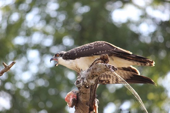 Maryland : Osprey feasting on a catfish