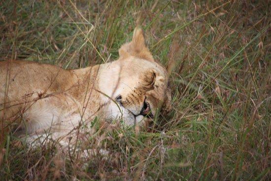 Lion Trails Safaris - Day Tours: Lion sleeping