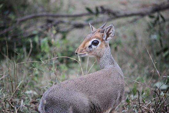 Lion Trails Safaris - Day Tours: Dikdik- super cute