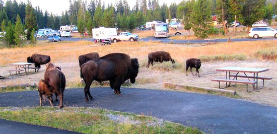 Bridge Bay Campground: Bison in the campground. Loved seeing them!